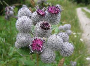 Цветки репейника