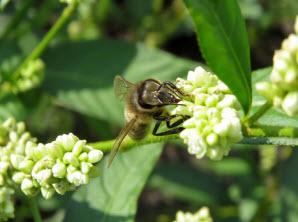 Пчела на цветке блошной травы