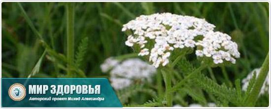 Цветок тысячелиствинника