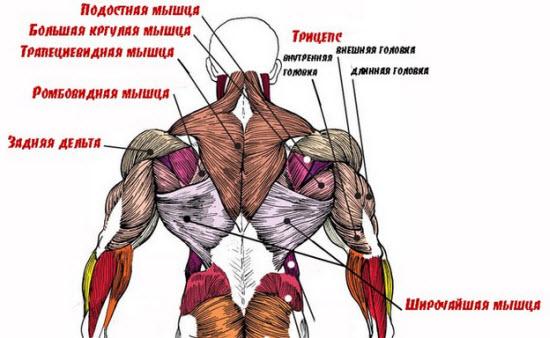 Анатомия спины