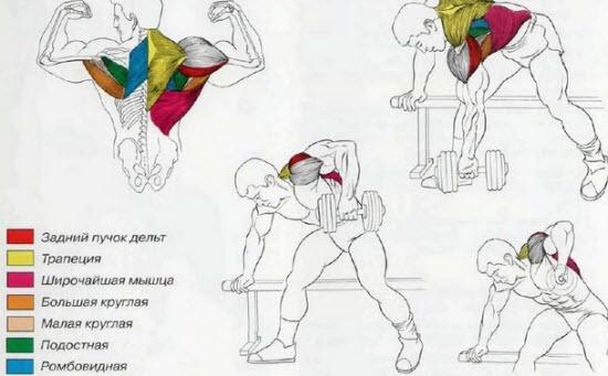 Какие мышцы работатют при тяге гантели