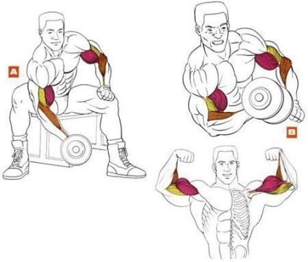 Упражнения на бицепс сидя