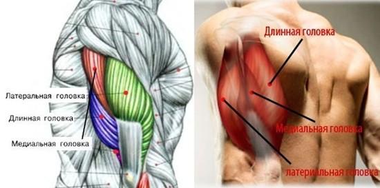 анатомия трицепса