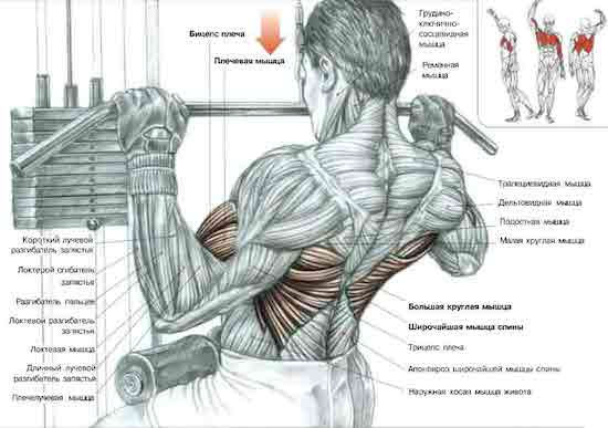 тяга блока к груди анатомия