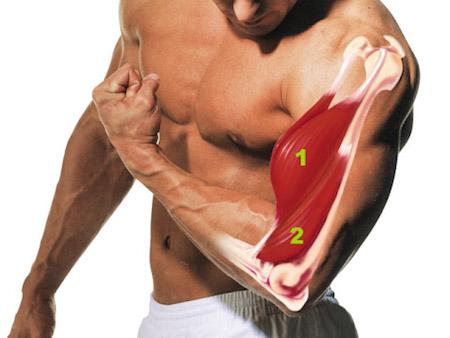 бицепс и мышцы